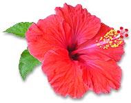 photo_hibiscus020