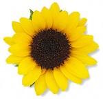 photo_sunflower007